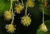 Bachbloesem healing herbs Beech/Beuk