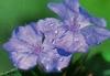Bachbloesem healing herbs Cerato/Loodkruid