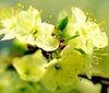 Bachbloesem healing herbs Cherry Plum/ Kerspruim