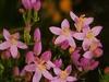 Bachbloesem healing herbs Centaury/Duizendguldenkruid